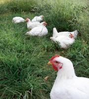 Men-jj09-chickens-for-meat-1_resized400x266